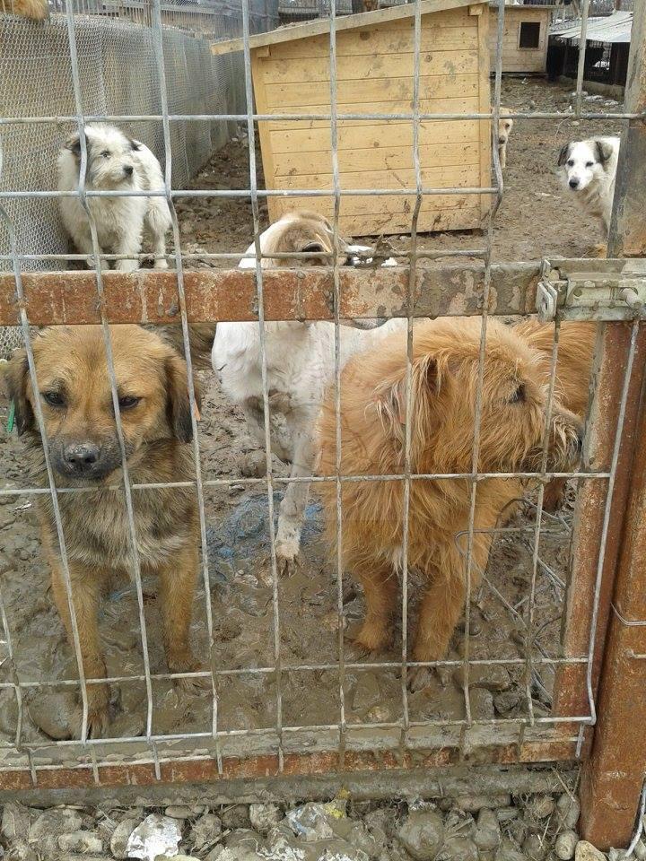 Straßenhunde Rumänien