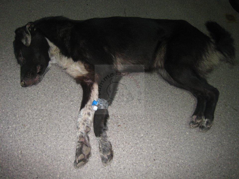 Rumänischer Straßenhund mit Staupe