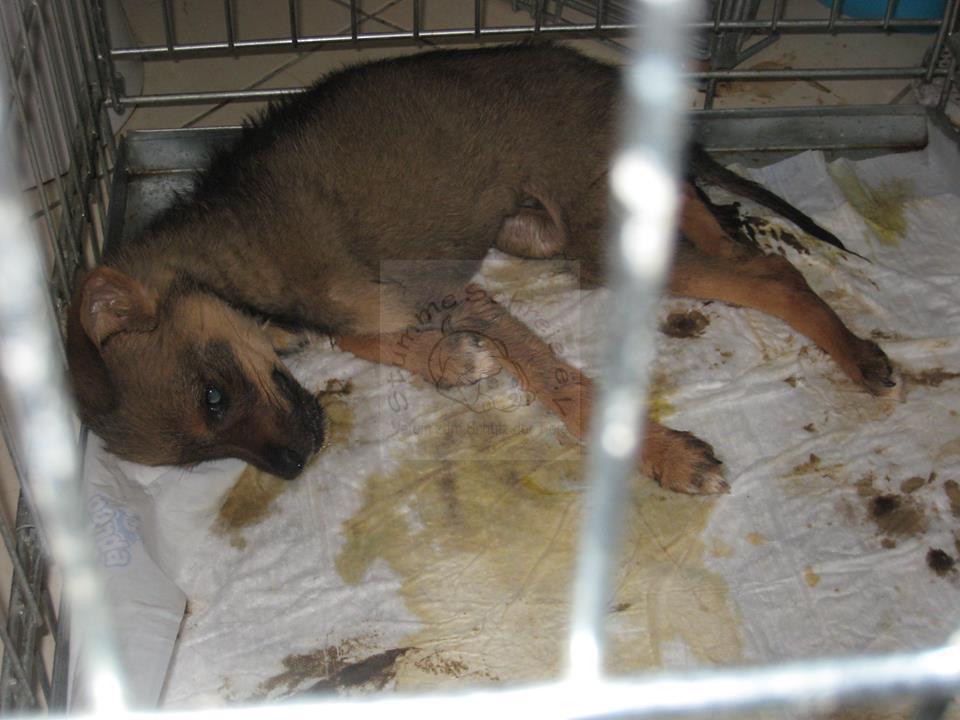 Rumänischer Straßenhund mit Parvovirose